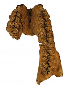 Anchitherium clarencei(whitebackground)