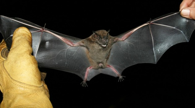 Jamacian fruit-eating bat (Artibeus jamaicensis)
