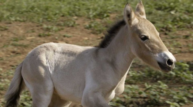 First Przewalski's horse born by artificial insemination birthday