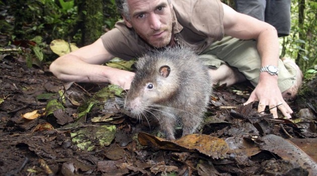 New species of giant rat discovered in crater of volcano in Papua New Guinea