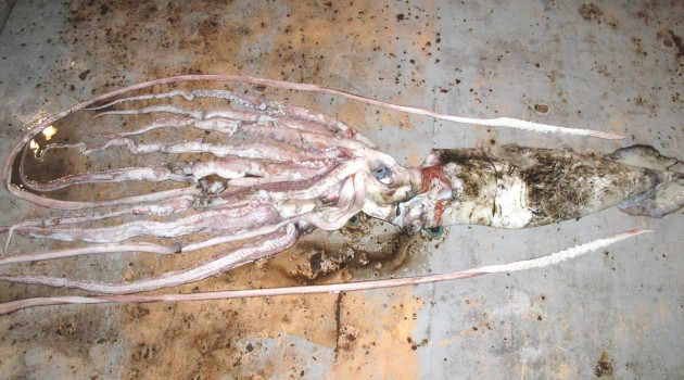 Smithsonian receives giant squid caught in the Gulf of Mexico