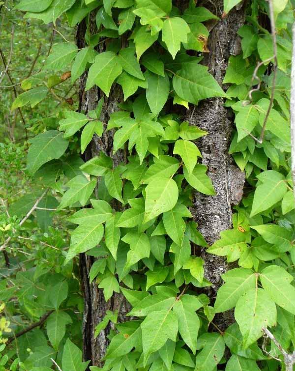 Photo: Posion ivy