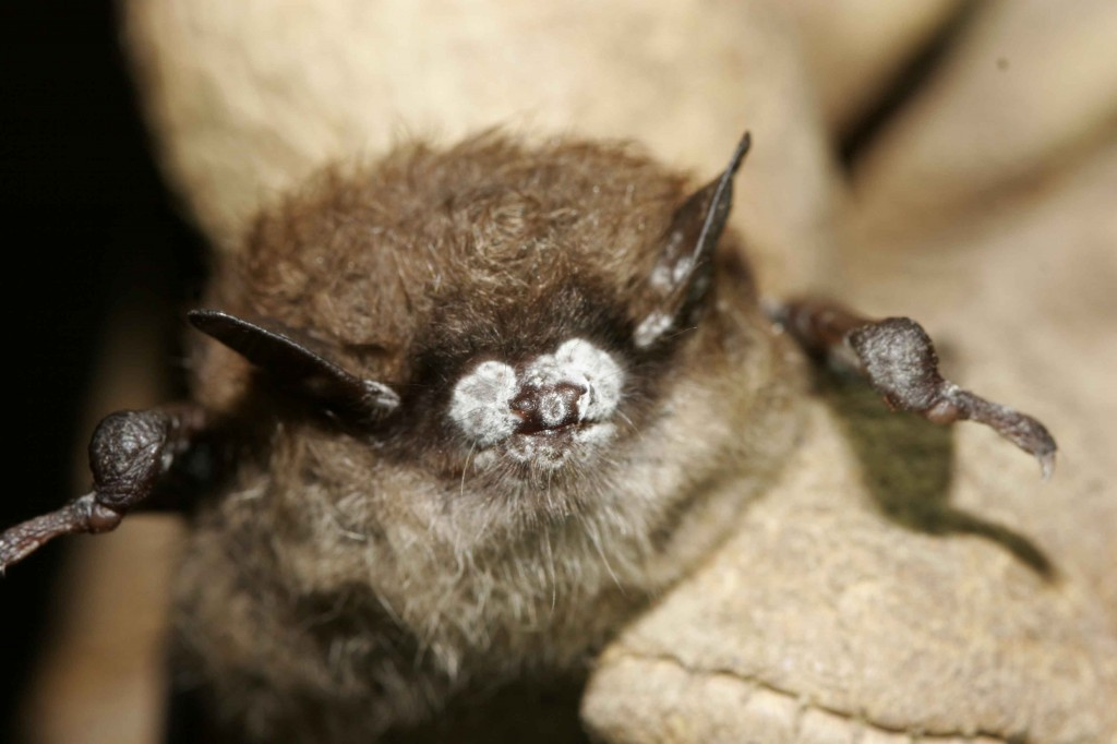 white-nose syndrome, little brown bat