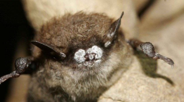 In face of crisis, National Zoo to start captive population of Virginia big-eared bats