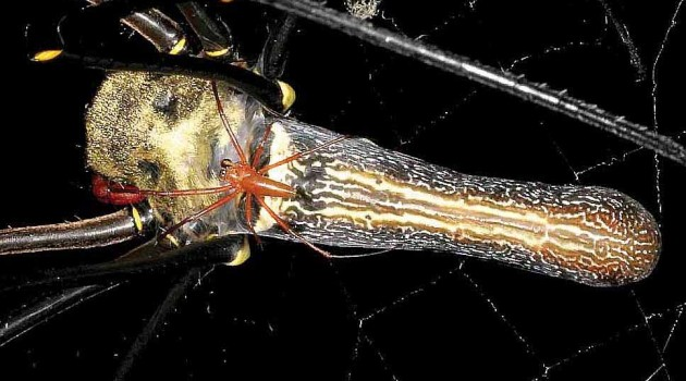 Females are giants in newly discovered species of golden orb weaver spider