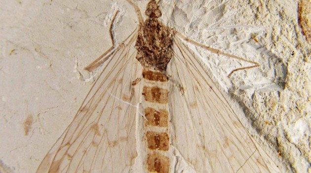 Prehistoric pollination: Scorpionfly mouthparts fit tubular channels of gymnosperm cones