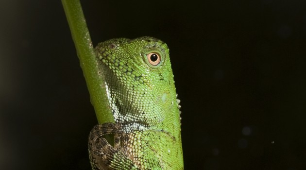 New to the collections: Four chameleon forest dragons hatch at Smithsonian's National Zoo