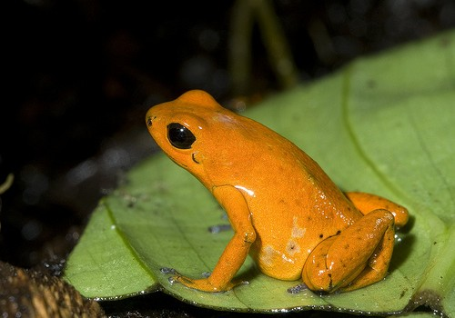 Strawberry dart frogs bred at National Zoo for first time in Zoo's history