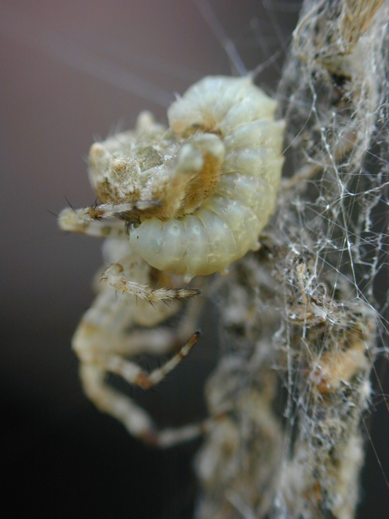 A wasp larvae grows fat on the juices it sucks from its spider host.