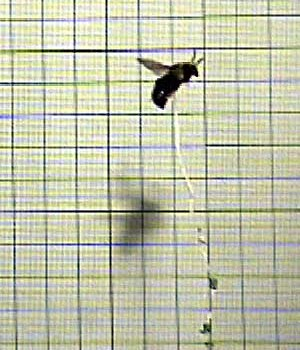 Laboratory tests reveal precise way to measure vertical lift in bumblebees and other small insects and birds