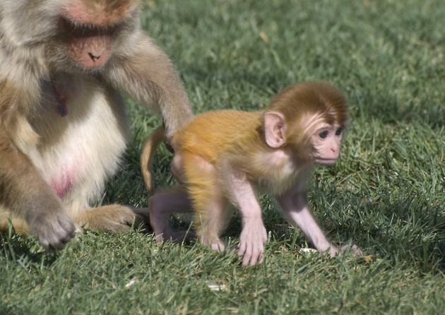 A rhesus macaque infant and its mother