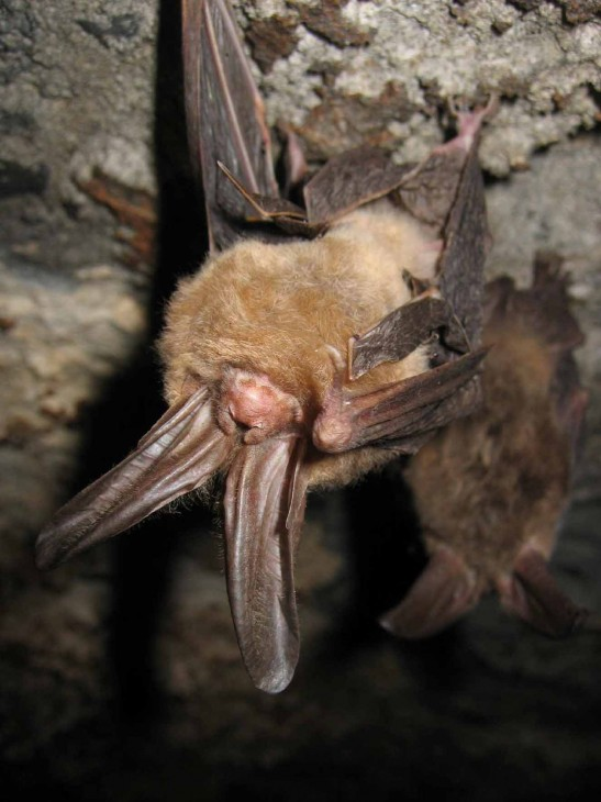 A Virginia big-eared bat hangs from the roof of a cave, Smithsonian National Zoological Park