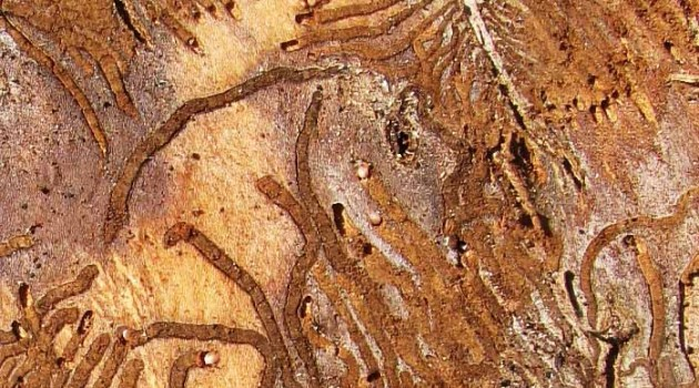 Image right: Bark beetle galleries or tunnels excavated in wood beneath the bark of an American elm. (Photo by Deborah Bell)