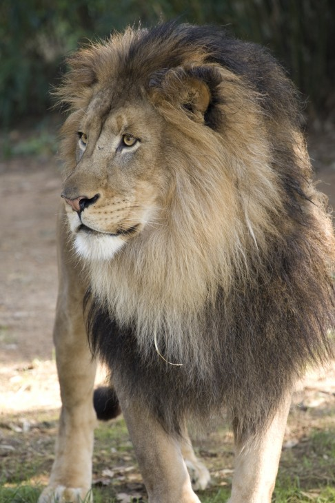 lion, Smithsonian National Zoological Park