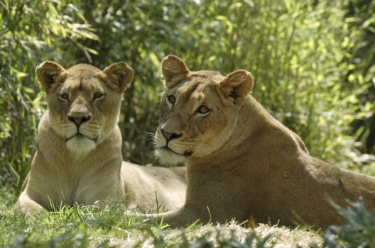 lions, Smithsonian National Zoological Park