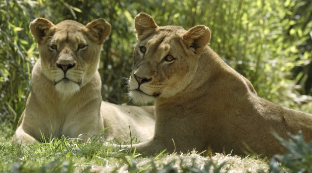 Patience and research may bring lion cubs to the National Zoo