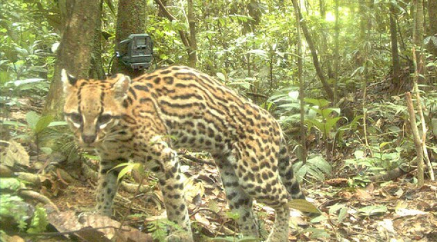 Photo of an ocelot taken during the National Zoo's recent camera-trap survey