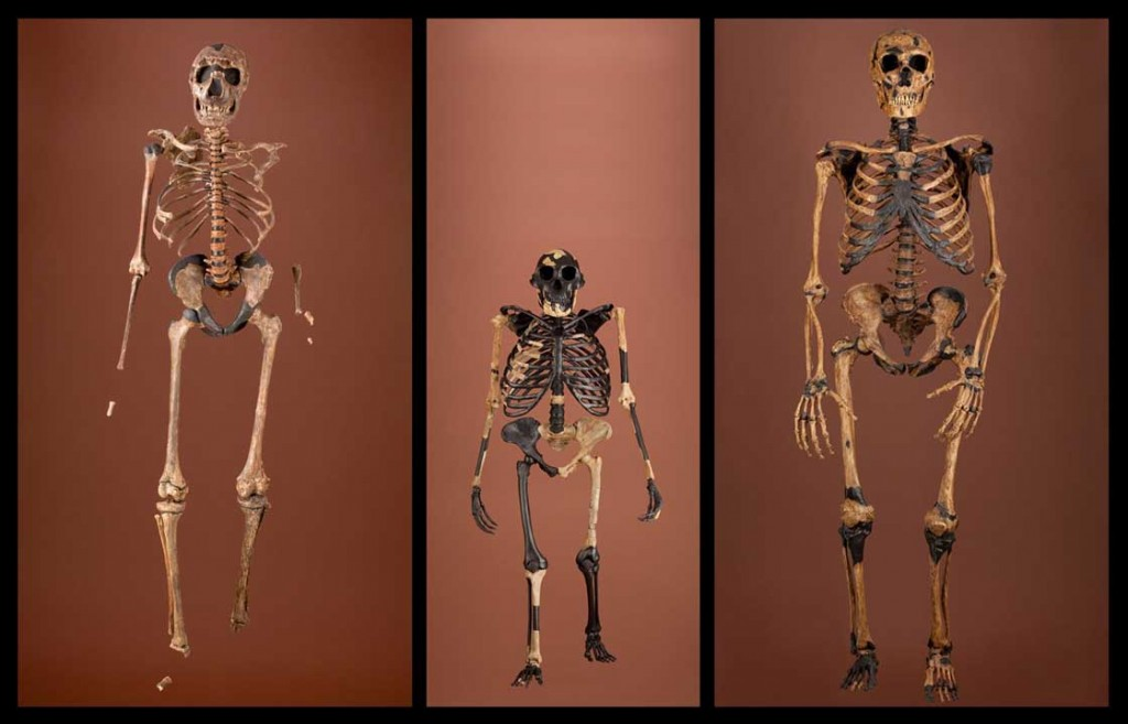 Image left: An evolutionary comparison (from left to right: Homo erectus, 1 million years old; Australopithecus afarensis, 2.5 million years old; Homo neanderthalensis, 100,000 – 32,000 years old)