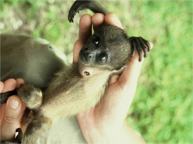 Howler monkey infant, Smithsonian Tropical Research Institute
