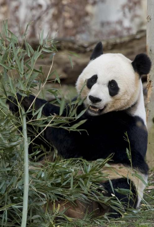 Mei Xiang, Smithsonian's National Zoological Park
