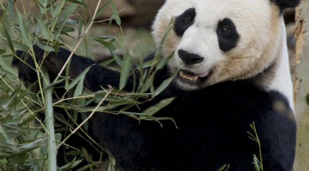 National Zoo's giant panda Mei Xiang is not pregnant