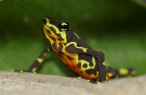 atelopus limosus, Smithsonian Tropical Research Institute