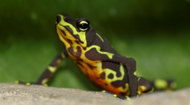 Shipping industry sends help as project in Panama tackles amphibian crisis