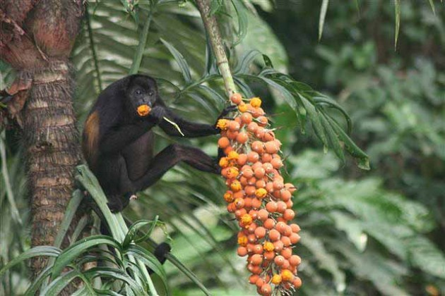 howler monkey, Smithsonian Tropical Research Institute