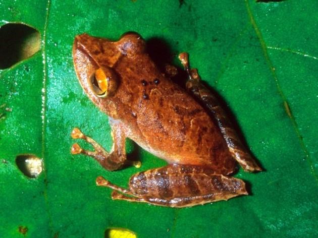 Pristimantis educatoris, Smithsonian Tropical Research Institute