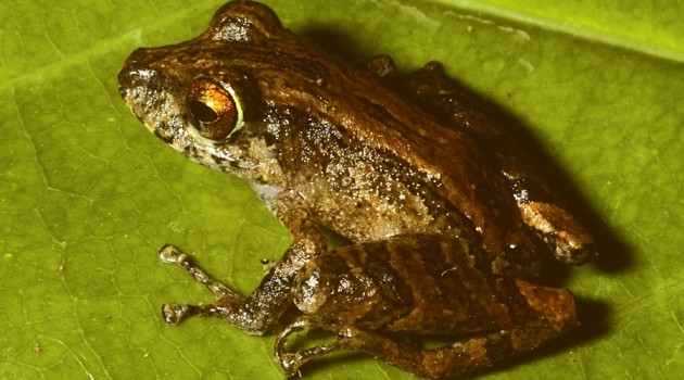 Two new frog species discovered in Panama's fungal war zone