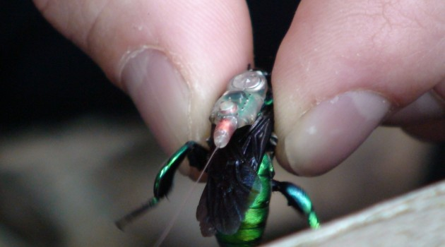 Transmitters unveil long-distance movements of orchid bees
