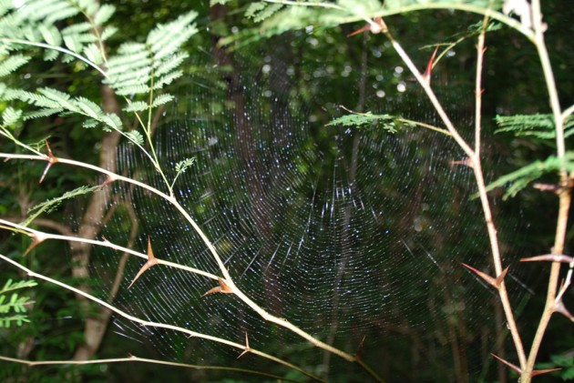 Eustala_field, Smithsonian Tropical Research Institute, orb-web spider