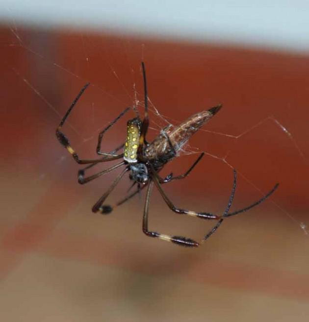 Nephila_spider