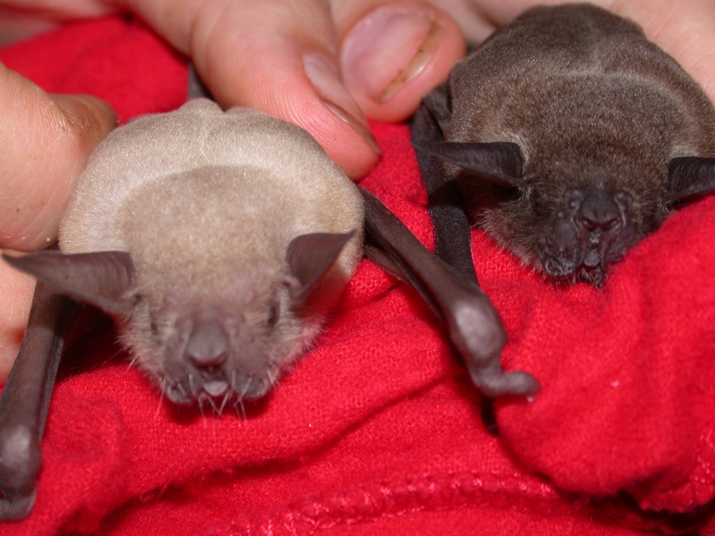 Lesser bulldog bats from Panama that were used in this study. (Photos courtesy Silke Voigt-Heucke)