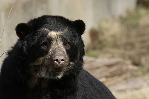 Keeper Tracey Barnes talks about the National Zoo's Andean bear, Billie Jean, and her two new cubs