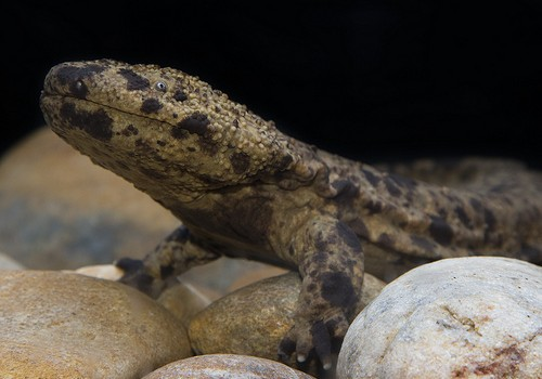 Japanese giant salamanders given to the National Zoo by Asa Zoological Park in Hiroshima