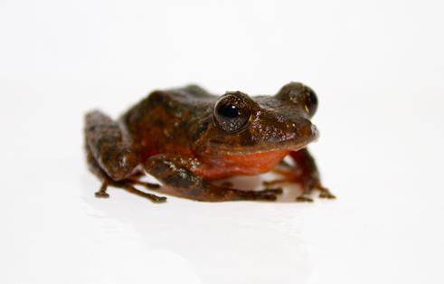 New frog species pose challenge for conservation project in Panama