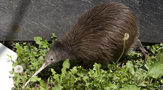 New Zealand Embassy donates kiwi pair to National Zoo Breeding Science Center