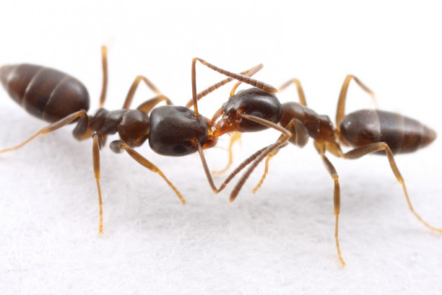 Two nestmates of the odorous house ant (Tapinoma sessile) share a granule of sugar.