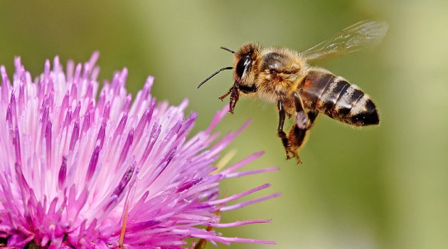 Honeybee landing on milkthistle