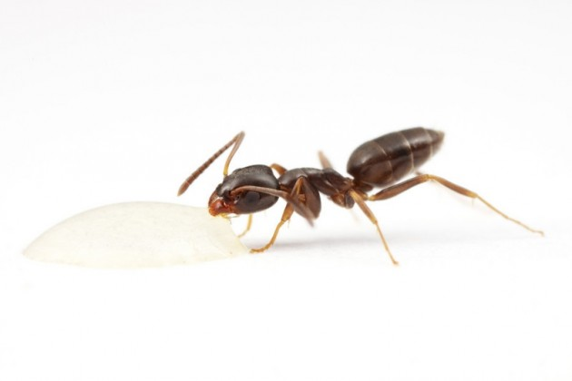 Tapinoma sessile - odorous house ant, feeding from a droplet of sugar water. Photo: Alex Wild