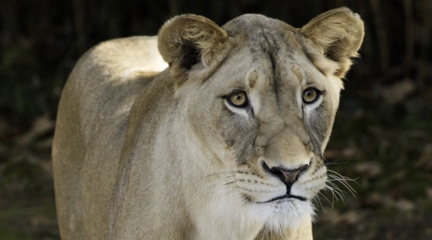 Shera, a 5-year-old lioness at the National Zoological Park