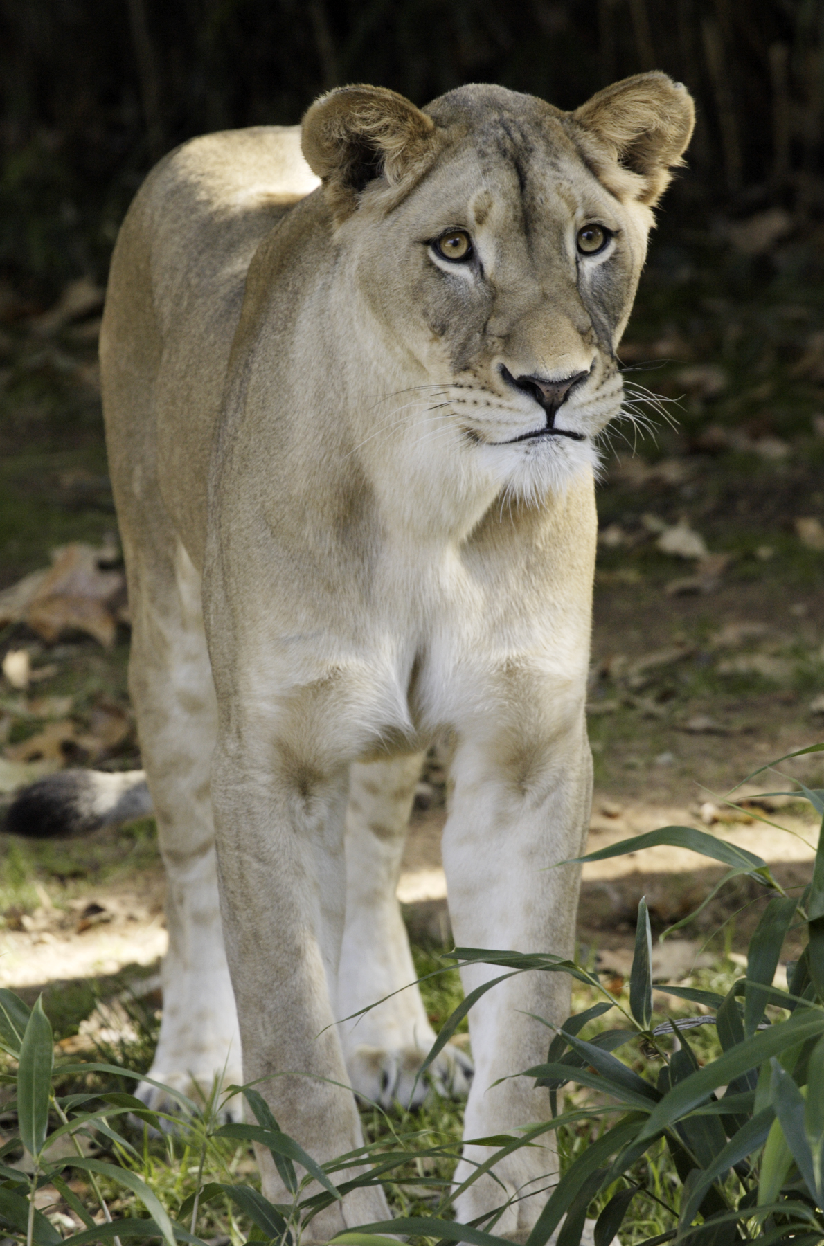 shera a 5 year old lioness at the national zoological park