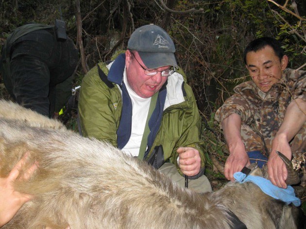 Image left: Smithsonian Conservation Biology Institute wildlife biologist William McShea attaches a radio collar to a wild takin with the help ofa member of the takinresearch team. (Image courtesy William McShea)