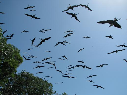 flock of frigate birds