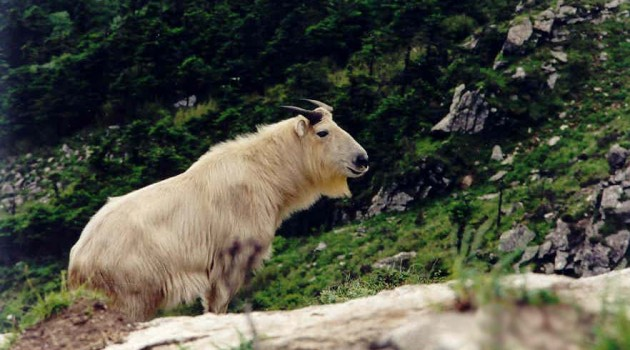 Great Sichuan earthquake of 2008 had little impact on of China's wild takins