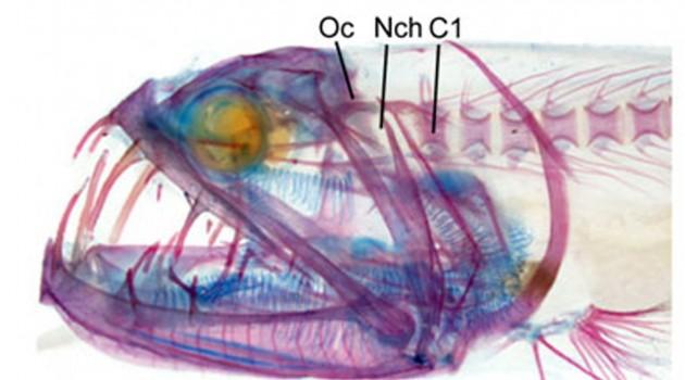Deep-sea dragonfish research