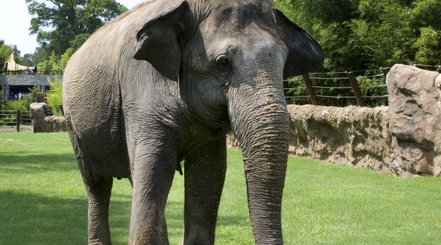 Conservation Biology Institute to play role in elephant welfare study