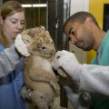 a lion cub being examined by Zoo veterinarians