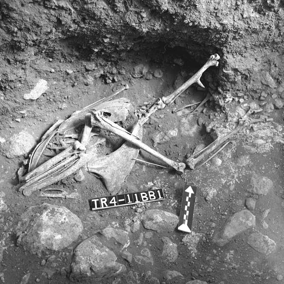 Image left: The remains of a headless turkey excavated at the site of Casas Grandes, Chihuahua. Turkeys were apparently frequently sacrificed as part of dedication ceremonies for buildings and plazas at the site. (Courtesy Amerind Foundation, Inc. Photo by Alfred Cohn)